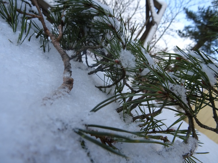 Männynoksa lumessa